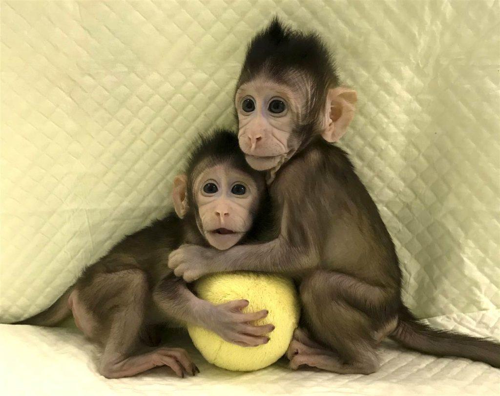 clonages singes