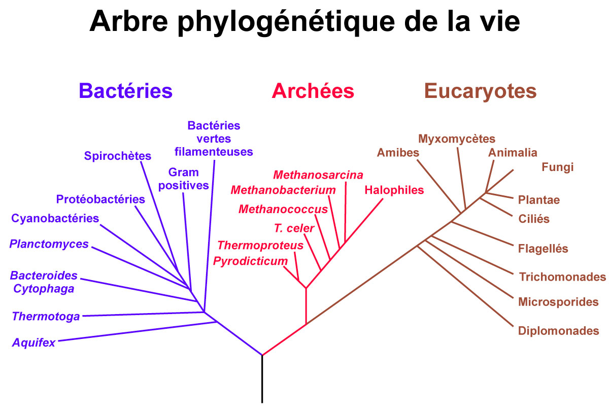 De nombreux extrêmophiles font partie des archées.